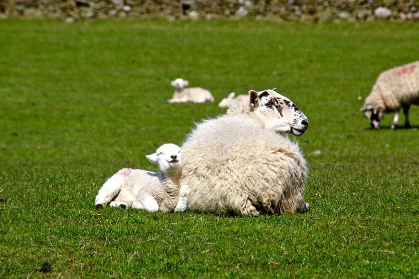 settle lamb