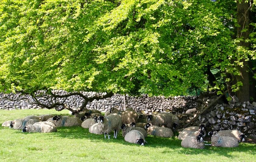 Dales sheepskins