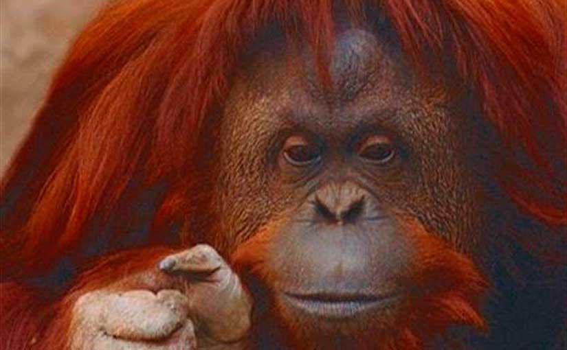 orangotango pensador