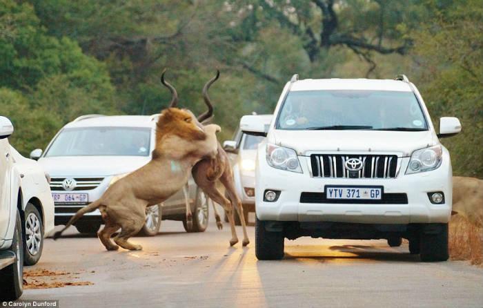Leões famintos atacam - fotos