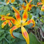 Tulip flux