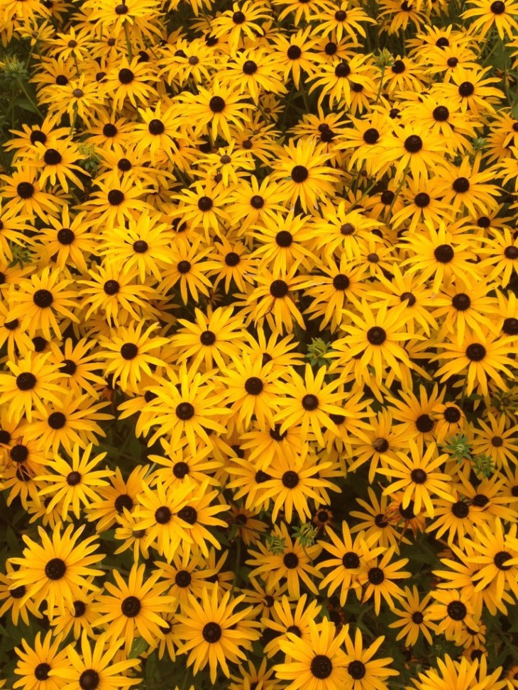 I really love Rudbeckia - RHS Wisley September 2014