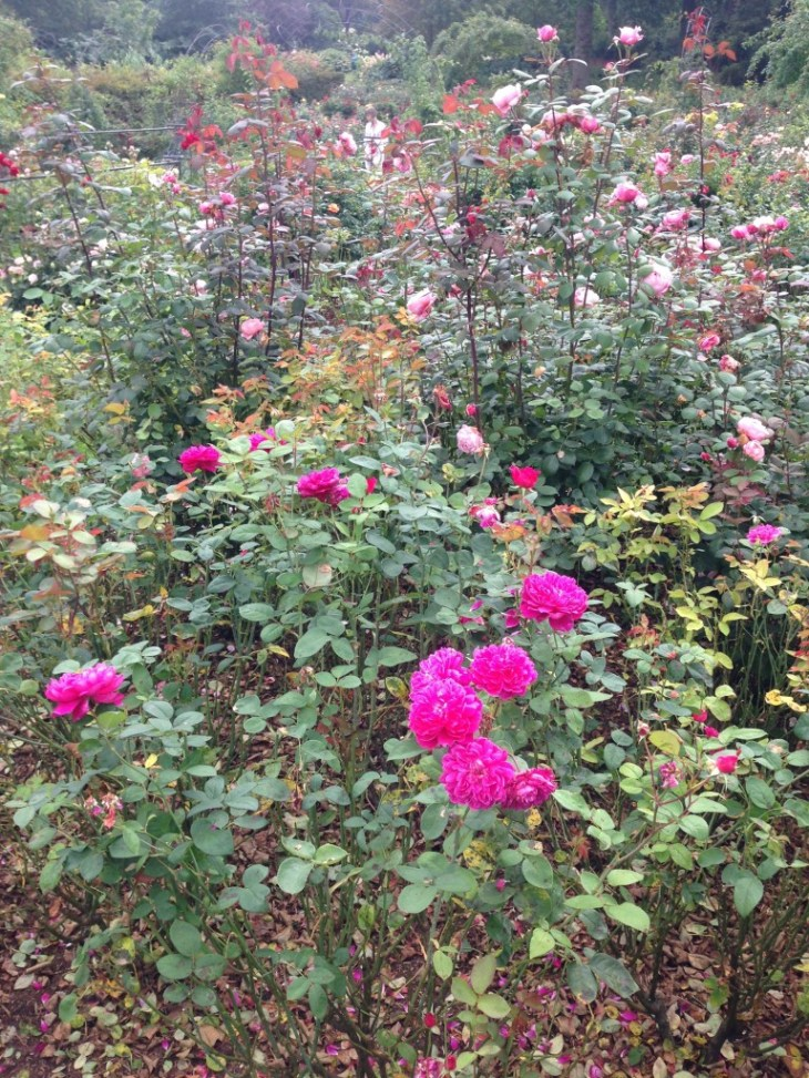 The rose garden is a riot of colour and fragrance even in early September