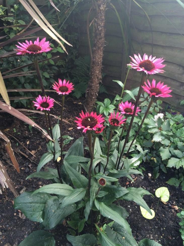 Echinacea purpurea 'Fatal attraction'