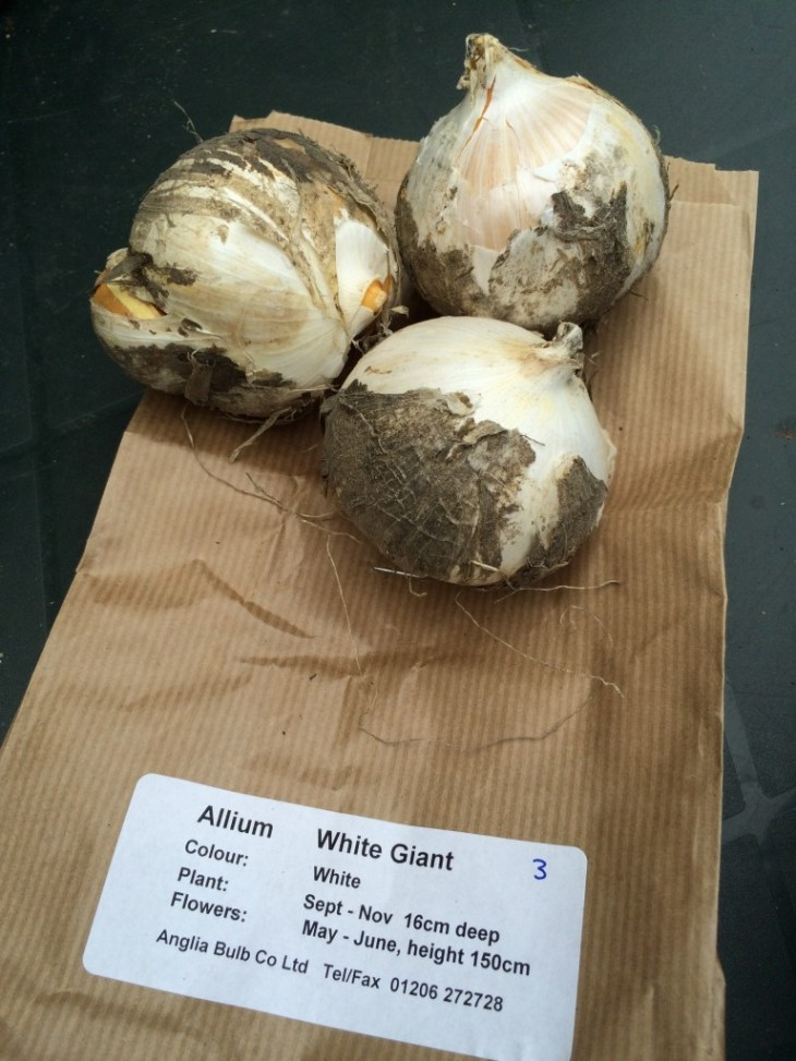 Allium White Giant, Anglia Bulbs