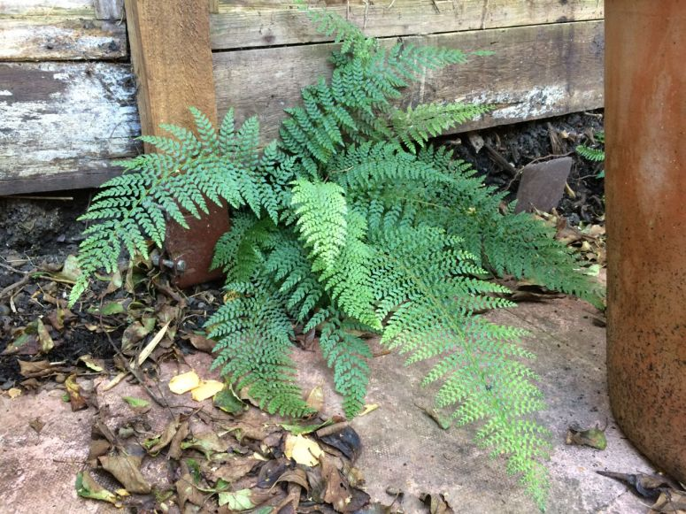 One of the ferns looking good - this one appears to deter slugs