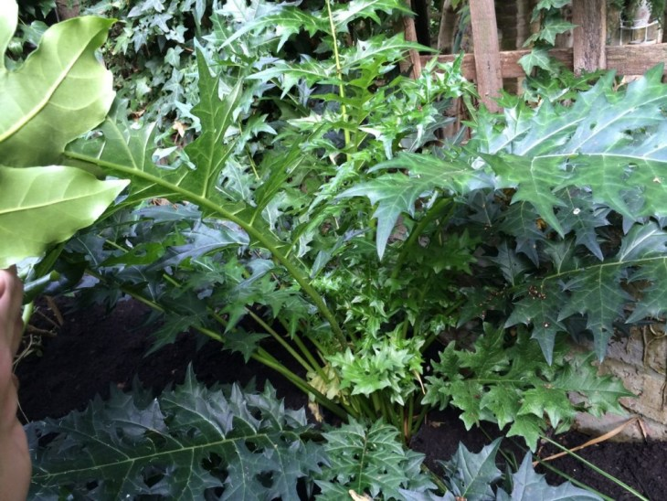 No flowers from the Acanthus spinosus this year but it's grown loads (I did plant it quite late in early summer). Expect a good display in 2015.