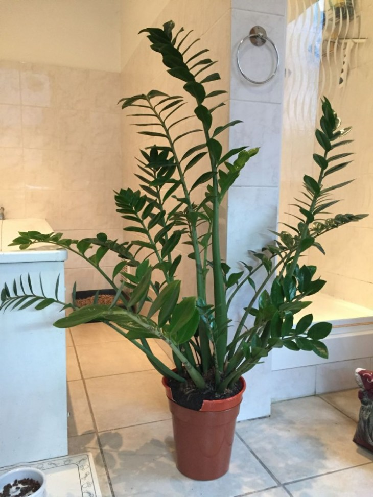 Here's our Zamioculcas zamiifolia hanging out in our bathroom pre-dividing