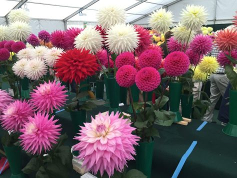 national-dahlia-collection-rhs-wisley-201508
