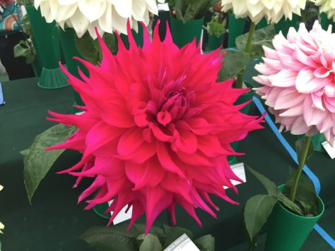 national-dahlia-collection-rhs-wisley-201514