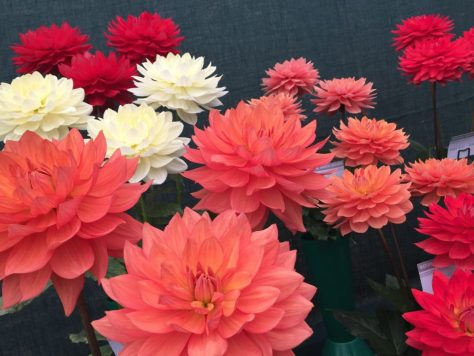 Waterlily Dahlias look out of this world.