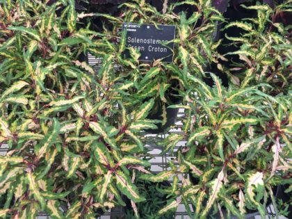 Solenostemon 'Green Croton' - with unusually shaped leaves