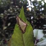 Box tree caterpillar plague in Clapham, London