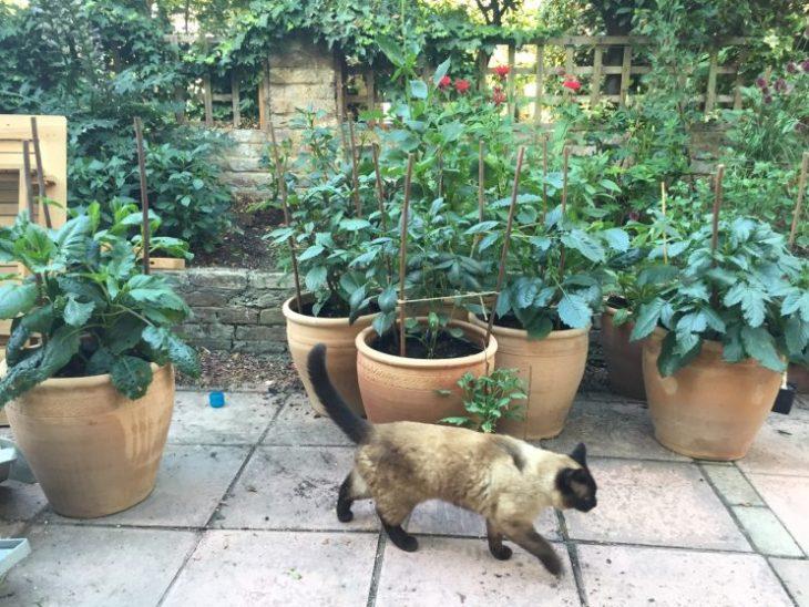 """Dahlia cuttings growing 14"""" pots"""