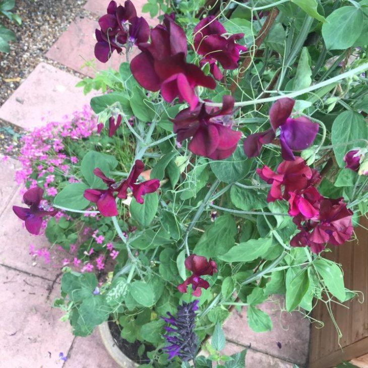 Lathyrus odoratus 'Beaujolais' and 'Solway Velvet'