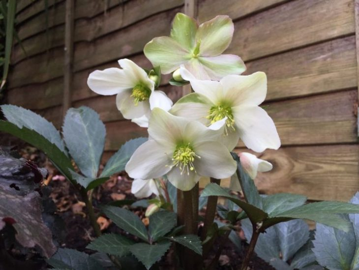 Helleborus x nigercors 'White Beauty'