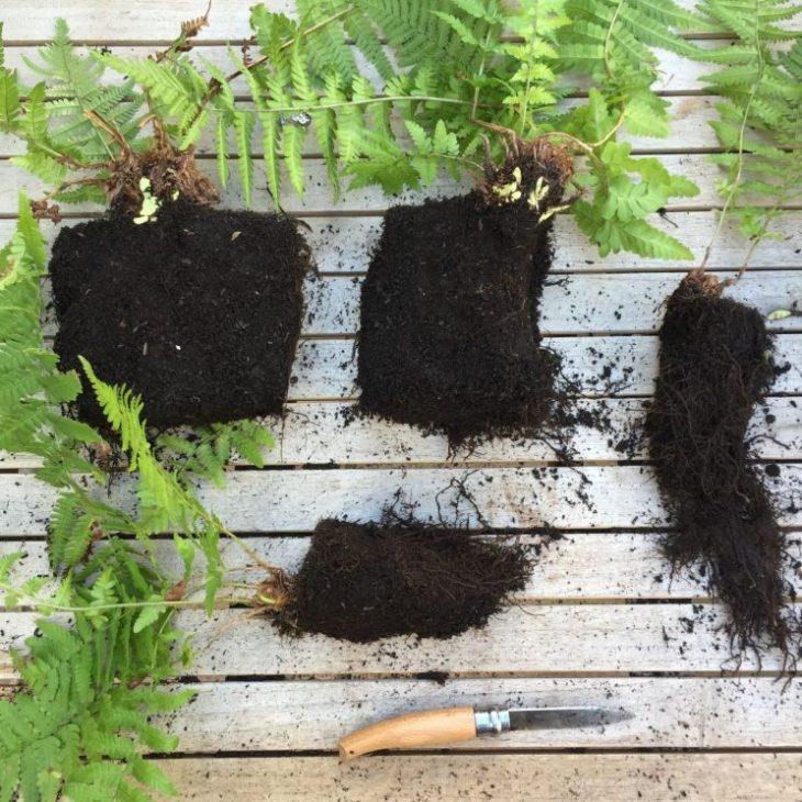 Dividing fern Dryopteris filix-mas