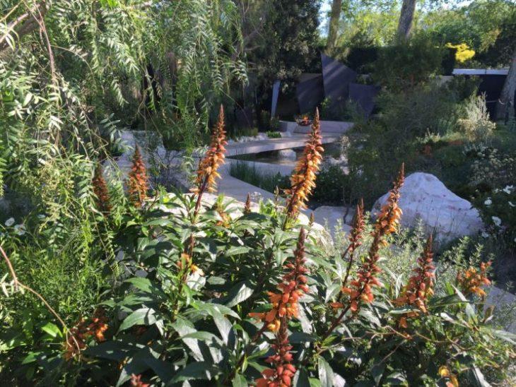 Isoplexis canariensis - RHS Chelsea Flower Show 2016