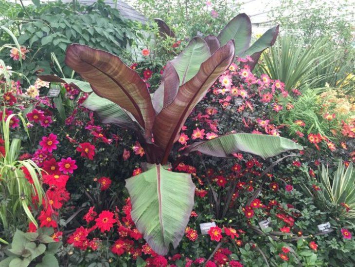 Dahlias - RHS Chelsea Flower Show 2016