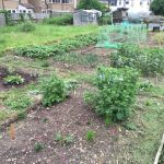 Allotment Month 7: Potatoes growing, problems sowing