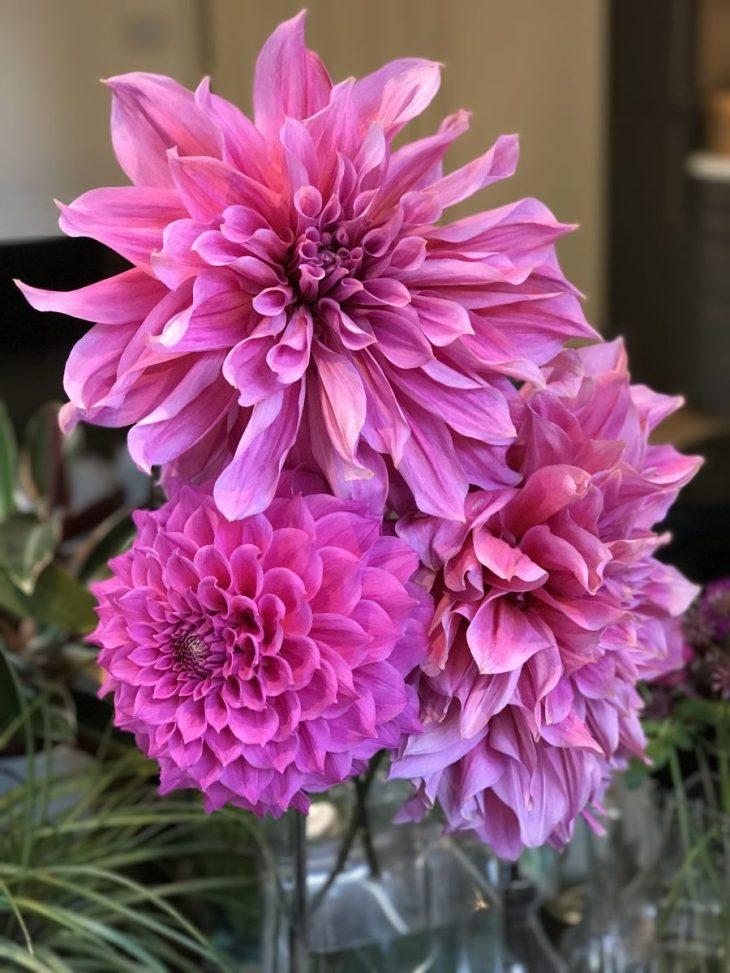 Dahlia, cut flowers