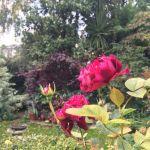 Autumn colour in Diana Ross' garden