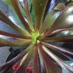 How to make an Aeonium arboreum branch (part one)