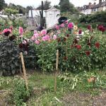 50 Dahlia photos from my garden and allotment