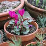 Pot's growing on in January: Planning for summer, sowing sweet peas, Eucalyptus gall wasp and houseplant love