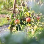 Allotment Month 34: happy herbal, apple disaster, persistent prairie