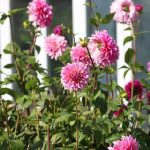 How to support dahlias for borders, pots and cutting