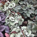 8 tips to demystify growing Begonias as houseplants