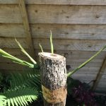 How to prune a Cordyline australis