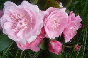 Rose-de-BagnolesDeLOrneD-Croix