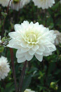 Blankass Dahlia Label Rouge