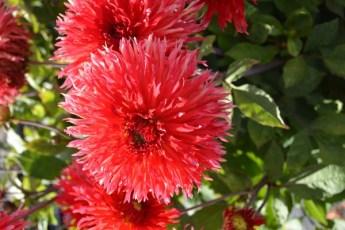 Dahlia Label Rouge - La Siera - Delbard, Novaflore