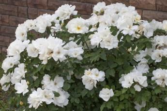 2499A Rosier White KNOCK OUT® Radwhite-HD