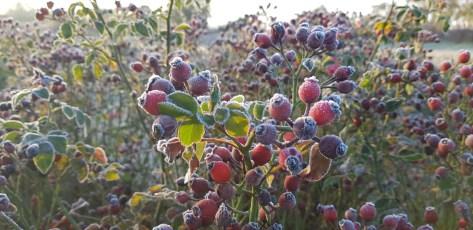 FRIENDLY fruits et givre 2020-11-25 at 08.31.49