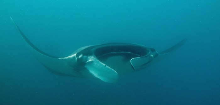 Giant Manta Ray Playa Herradura Costa Rica