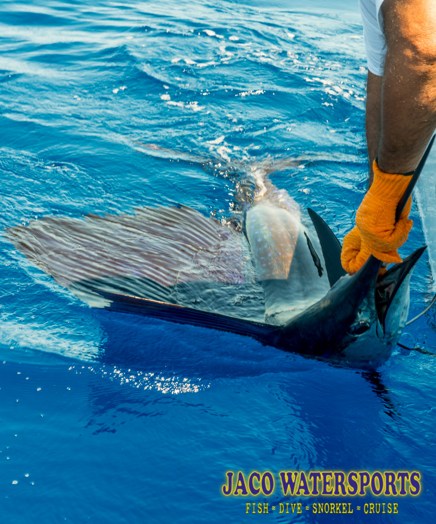 oxigenating sailfish
