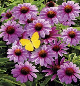 ECHINACEAS PURPUREA, plante en ligne