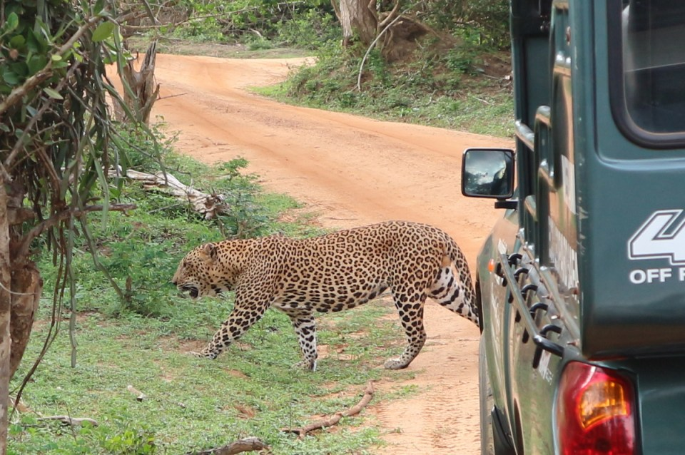 Sri Lanka, Yala National Park, Leopard