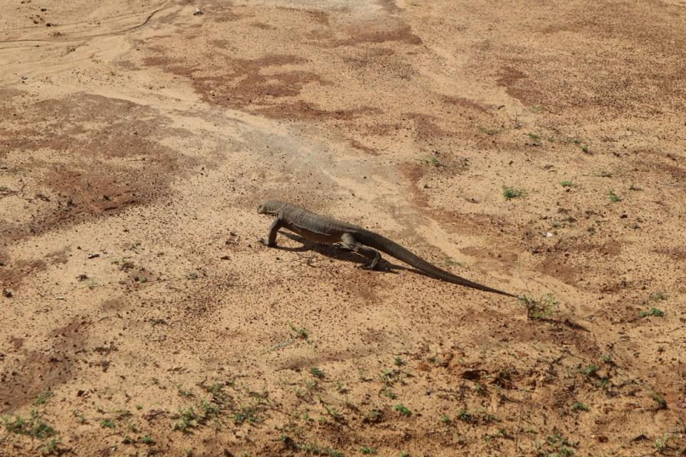 Iguana, Yala National Park