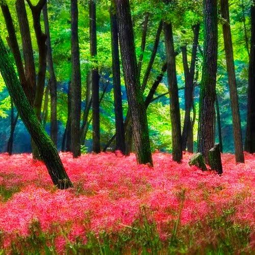 Forest Spider Lilies, Saitama, Japan