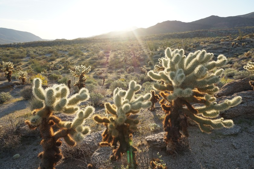 Cholla, cholla and more cholla.