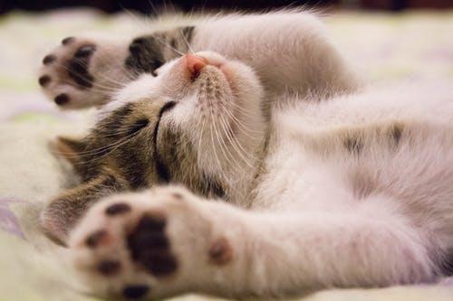 gale des oreilles chat Symptômes , prevention et Traitements Naturels