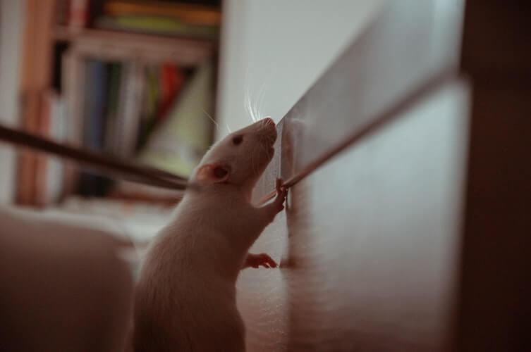 piege a rat professionnel