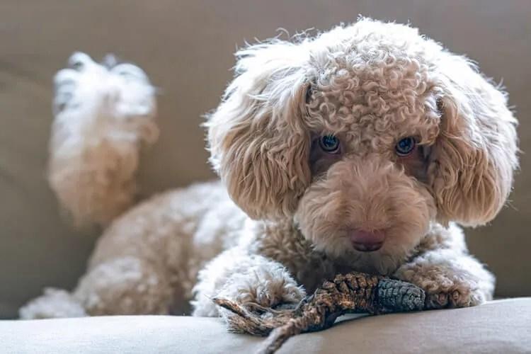 Meilleure tondeuse pour chien Professionnelle