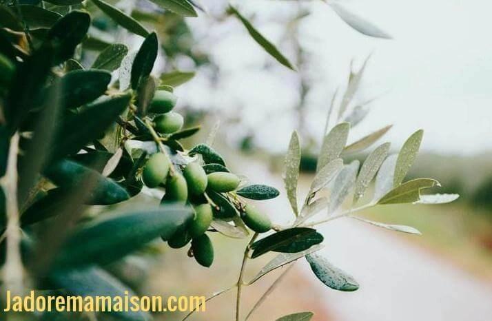 Comment préparer les olives fraîchement cueillies sur l'arbre