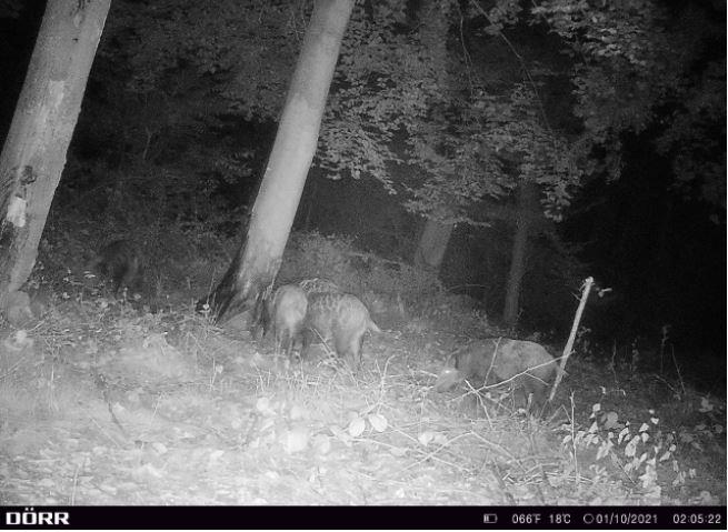 DÖRR Wildkamera 4G - Rotte an Kirrung bei Jagdabsehen